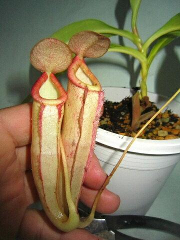 観葉植物 生産温室直送食虫植物  ネペンテス  イル ド フランス【自由研究】