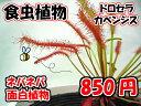 観葉植物 面白植物 食虫植物 ドロセラカペンシス 【自由研究】
