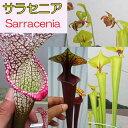 【観葉植物】【食虫植物】 サラセニア 【自由研究】
