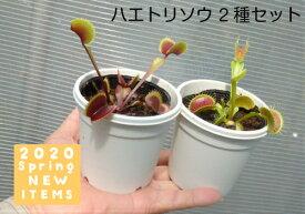 【食虫植物】 ハエトリソウ 2種セット