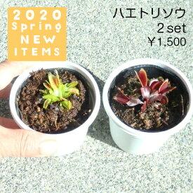 【食虫植物】 ハエトリソウ(小) 2個セット