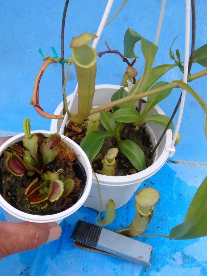 【送料無料】生産温室から直送!食虫植物 ネペンテス エフルゲント とハエトリソウ