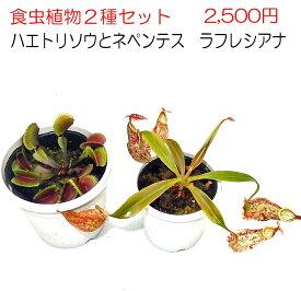 【ご奉仕価格】食虫植物2種セット ネペンテス ラフレシアナとハエトリソウ