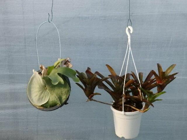 【送料無料】【観葉植物】【面白植物】ビカクシダとネオレゲリアのセット 【自由研究】