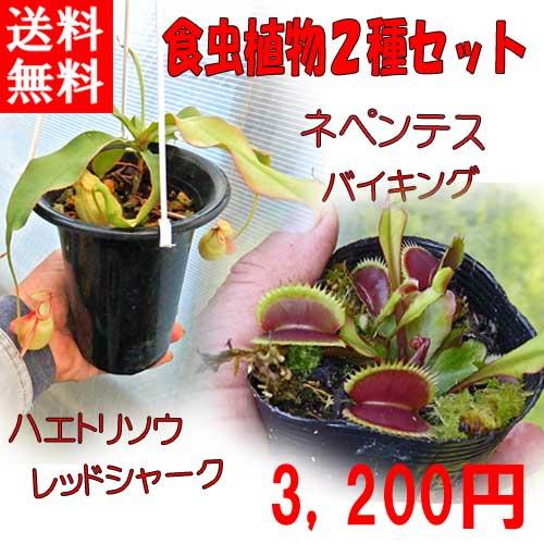 【送料無料】生産温室から直送!食虫植物 ネペンテス バイキング とハエトリソウ