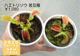 【食虫植物】ハエトリソウ普及種