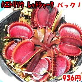 【食虫植物】 ハエトリソウ レッドシャーク
