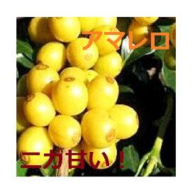 焙煎人珈琲豆也のブラジル アマレロブルボン100g(コーヒーメーカー/ドリップ向き中細挽き)