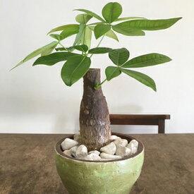 テーブルパキラ 観葉植物 緑観葉植物 インテリア 観葉植物インテリア テーブルパキラ パキラ 観葉植物 送料無料 人気の観葉植物 おしゃれ観葉植物 お部屋観葉植物