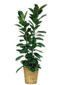 ゴムの木10号観葉植物 インテリア 観葉植物インテリア 観葉植物 送料無料 人気の観葉植物 おしゃれ観葉植物 お部屋観葉植物