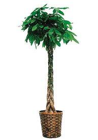 パキラ8号観葉植物 インテリア 観葉植物インテリア 観葉植物 送料無料 人気の観葉植物 おしゃれ観葉植物 お部屋観葉植物
