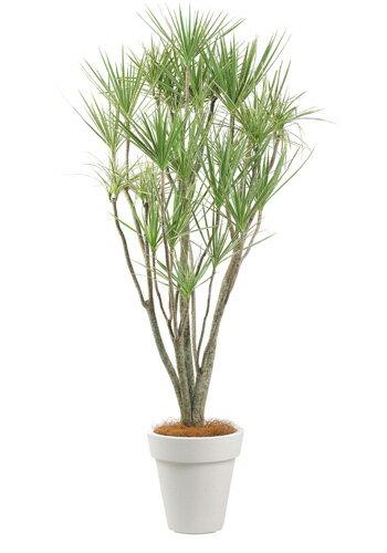 コンシンネ10号特殊鉢観葉植物 インテリア 観葉植物インテリア 観葉植物 送料無料 人気の観葉植物 おしゃれ観葉植物 お部屋観葉植物