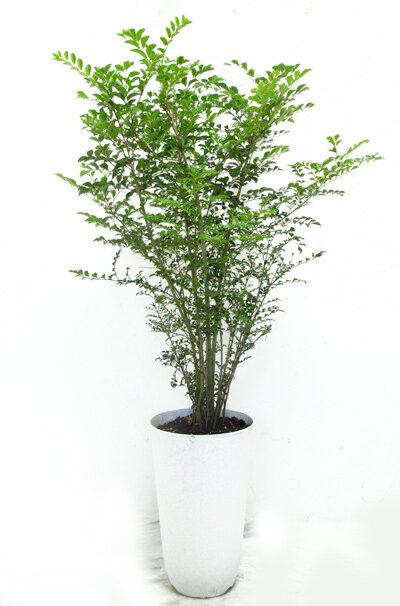 【庭木に最適!シマトネリコ 8号プラ鉢】