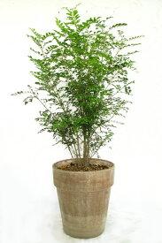 【シマトネリコ テラコッタ植え】【アンティーク調】【庭木】【ギフト】