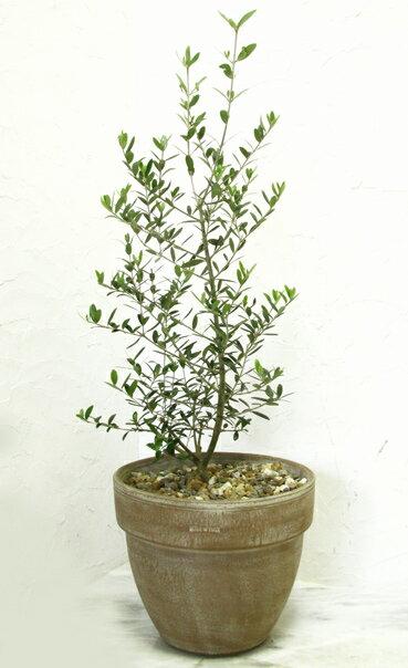 【アンティーク調テラコッタ植えのオリーブ  品種は店長におまかせで!】【6】