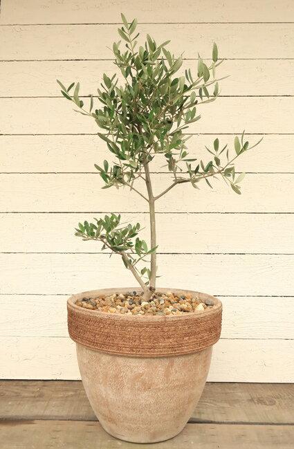【アンティーク調テラコッタ植えのオリーブ  品種は店長におまかせで!】【6】【庭木】【ギフト】【シンボルツリー】