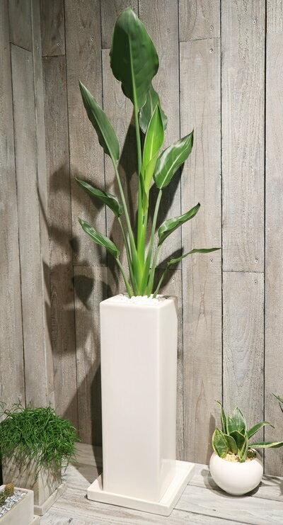 【送料無料!四角い陶器に土植えで ストレリチア・レギネ】【ミッドS】【観葉植物】【ギフト】【御祝】【インテリア】