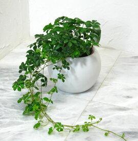 【とっても簡単!白いアクアテラポットのシュガーバイン】【観葉植物】【ギフト】【インテリア】【水耕栽培】