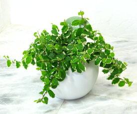 【とっても簡単!白いアクアテラポットのプミラ】【観葉植物】【ギフト】【インテリア】【水耕栽培】