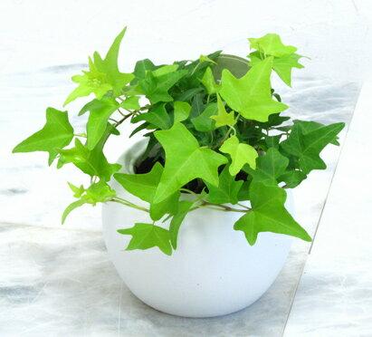 【とっても簡単!白いアクアテラポットのヘデラ】【観葉植物】【ギフト】【インテリア】【水耕栽培】