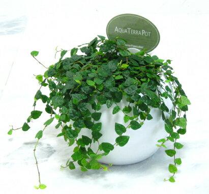 【とっても簡単!白いアクアテラポットのプミラ・ミニマ】【観葉植物】【ギフト】【インテリア】【水耕栽培】