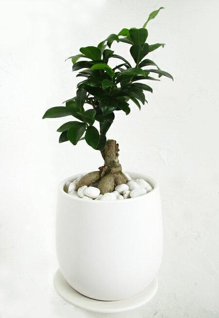 【送料無料!幸せを呼ぶ木・ガジュマル 白い陶器】【OSTボールS】【観葉植物】【ギフト】【インテリア】