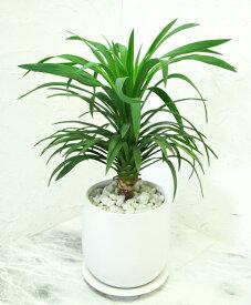 【ユッカ・デスメティアーナ 白い陶器】【OSTボールM】【観葉植物】【ギフト】【インテリア】