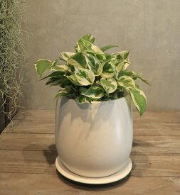 【ポトス・エンジョイ 白い陶器】【OSTボールM】【観葉植物】【ギフト】【インテリア】