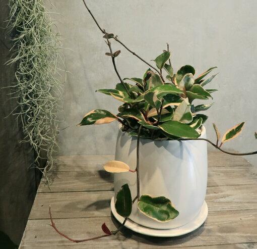 【サクララン(ホヤ) 白い陶器】【OSTボールL】【観葉植物】【ギフト】【インテリア】