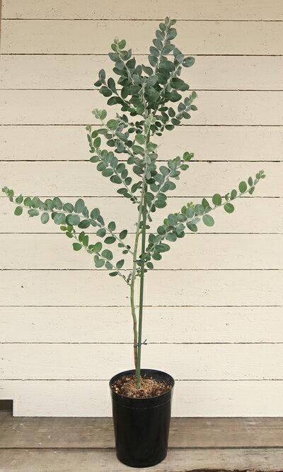 【パールアカシア 6号プラ鉢】【庭植え】【ギフト】