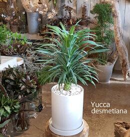 【送料無料!ユッカ・デスメティアーナ 陶器に土植え】【観葉植物】【ギフト】【インテリア】