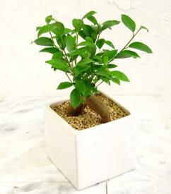 【四角の器の ガジュマル ウォーターサンドで植え】【幸せを呼ぶ木】【精霊が宿る樹】【観葉植物】【ギフト】【インテリア】