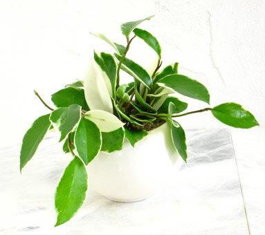 【丸い器の ミニサクララン  ウォーターサンド】【ギフト】【観葉植物】【ギフト】【御祝】【インテリア】