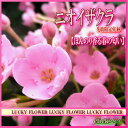 【敬老の日】【秋限定】ほんのり甘い香りのニオイザクラの花鉢【送料無料】【あす楽対応】