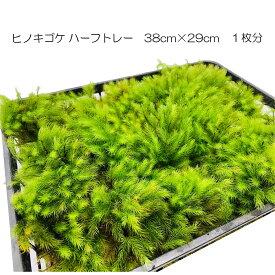 苔の森 ヒノキゴケ ハーフトレー 1枚分