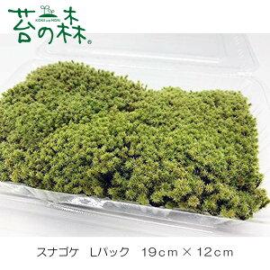 苔の森 スナゴケ 砂苔 Lパック 19cm×12cm 【送料無料】 クリックポストで発送