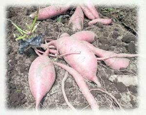 原料の芋「ベニオトメ」