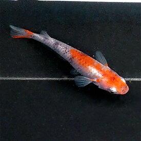 (メダカ) 紀州三色めだか 未選別 稚魚(SS〜Sサイズ) 10匹セット 赤 三色 錦 透明鱗 稚魚 子供 メダカ 淡水魚