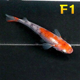 (メダカ) 紀州三色めだか (F1) 5匹セット 三色 錦 透明鱗 F1 選別落ち メダカ 淡水魚