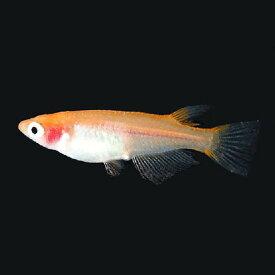 (メダカ) 楊貴妃透明鱗めだか 未選別 稚魚(SS〜Sサイズ) 10匹セット 紅白 楊貴妃 透明鱗 メダカ 淡水魚