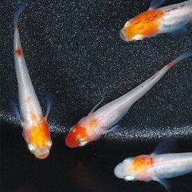 メダカ 紅白めだか 未選別 稚魚(SS〜Sサイズ) 10匹セット 紅白 更紗 丹頂 透明鱗 メダカ 淡水魚