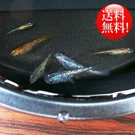 (メダカ) めだか おまかせ 虹色ラメめだかミックス 未選別 稚魚(SS〜Sサイズ) 10匹セット ミックス ラメ 虹色 幹之 ミユキ メダカ 淡水魚