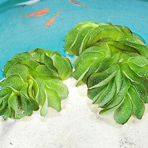 (水草) オオサンショウモ 10株セット 大山椒藻 水草 浮き草 鉢 メダカ アクアリウム