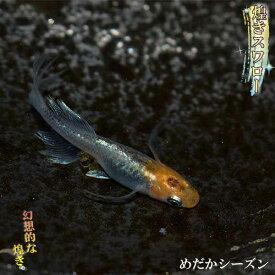 メダカ 煌松井ヒレ長スワロー めだか 未選別 稚魚(SS〜Sサイズ) 10匹セット 煌めき ラメ ひれ長 スワロー メダカ 淡水魚