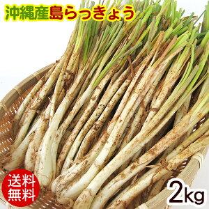 沖縄産 島らっきょう(生)2kg 【送料無料】