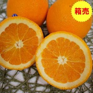 【クール便送料無料】箱売 バレンシアオレンジ 1箱(17kg)