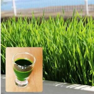GREENFIELDPROJECT有機種子ウィートグラス(スムージー&ジュース用)【固定種】