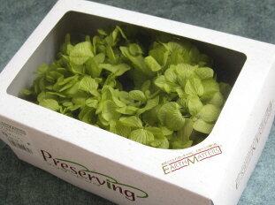 【花材】プリザーブドフラワー 大地農園ソフトゆめアジサイヘッド1箱 ライトグリーン
