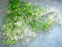 【防虫加工】【花材 カスミ】プリザーブドフラワー 大地農園ソフトミニカスミ草フラワーベール1束 白/グリーン