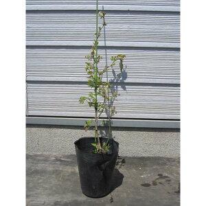 ブルーベリーの苗木 2品種(ブルーレイ+バークレイ) 2年生 特等苗